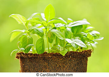 Green sweet basil plant - Young sweet basil plants in peat...