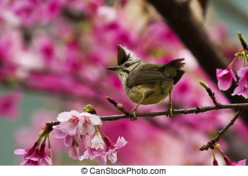 Taiwan Yuhina with pink flowers - Taiwan Yuhina attract...