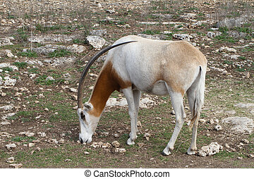 Scimitar Horned Oryx - A scimitar horned oryx grazes on the...