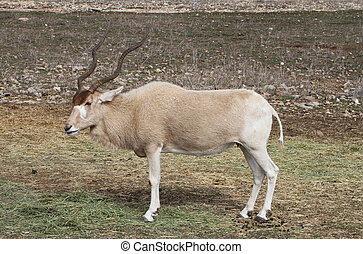 Addax - An endangered addax grazes on the savanna