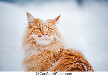 red young Maine Coon, portrait in winter