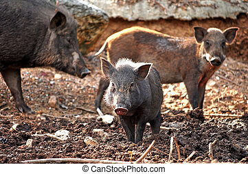 baby wild boar - The boar are living with the family