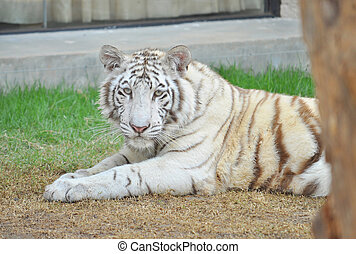 White Bengal tiger resting after playing with toys in the...