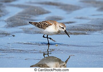 Western Sandpiper (Calidris mauri) feeding in water by the...