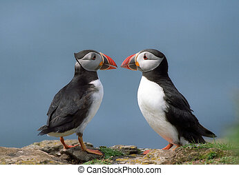 Two puffins in Scotland coastline rock