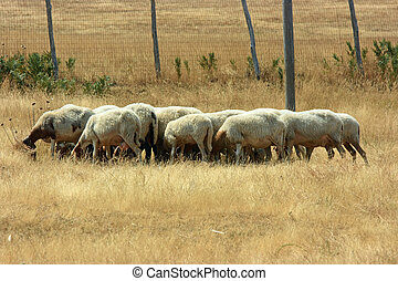 Flock of sheep with heads down seeking for anything edible...