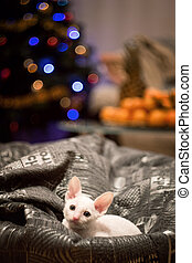 Cornish Rex kitten sitting in bean bag