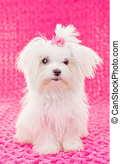 cute maltese puppy dog with pink bow