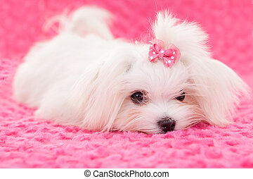 pedigree maltese dog - pedigree purebred cute maltese dog