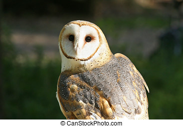 Closeup of a Barn Owl Raptor Looking Over Its Shoulder