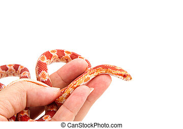 Albino corn snake  in hand on white background
