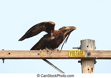 Golden Eagle (Aquila chrysaetos) on a perch against a blue...
