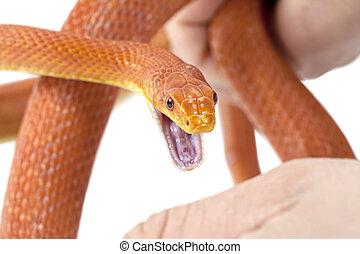 cobra, mordida