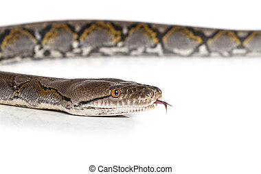 Python snake over white - Python snake in studio over white...