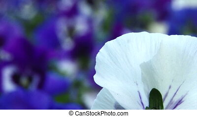 White, blue flowers Close up