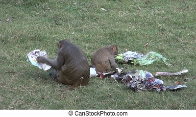 monkey in park reading newspaper - two monkey in Agra park...
