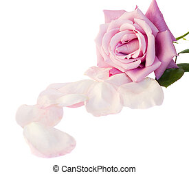 one mauve rose with petals isolated on white background