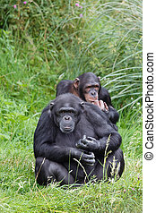 Chimp chimpanzees - Two chimps or chimpanzees sitting in...