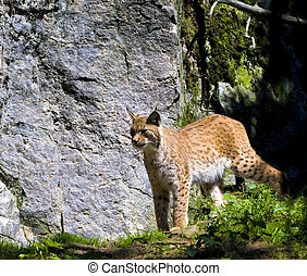 Lynx Lynx - SWedens biggest cat preditor, Lynx Photo taken...