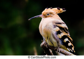 hoopoe (lat. Upupa epops) sitting on a branch.
