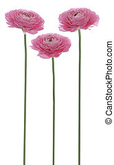 persian buttercup - Studio Shot of Pink Colored Persian...