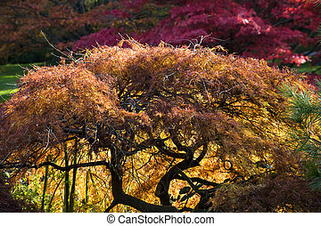 Japanese Maple Red Leaves Fall Colors Van Dusen Gardens -...