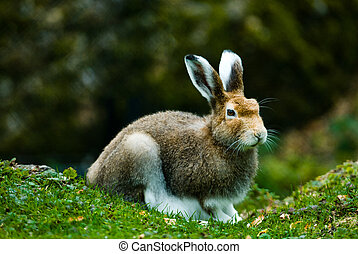 mountain hare lat Lepus timidus in autumn sitting in the...