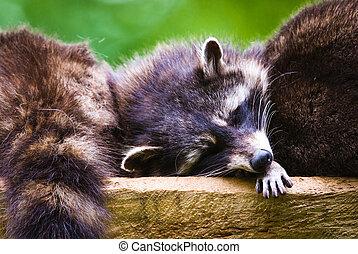 sleeping racoons