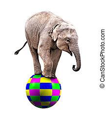 Baby circus elephant - A Baby circus elephant balancing on a...