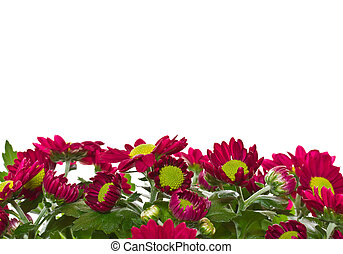 Chrysanthemums - Beautiful blooming purple chrysanthemum on...