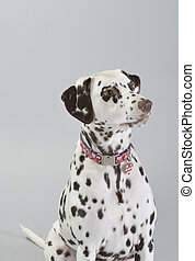 Dog Dalmatian - Dog, dalmatian, studio portrait photography