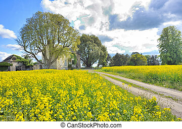 rapeseed field in spring time