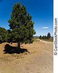 Pine tree in Utah
