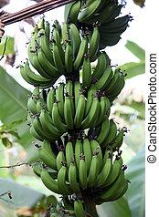 Banana plant with ripe bananas