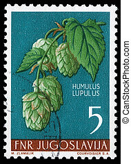 Common hop - A stamp printed in Yugoslavia shows common hop,...