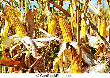Yellow Corn in autumn