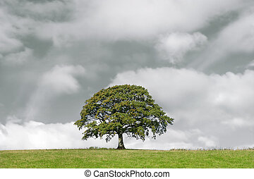 Oak Tree and Storm Clouds - Oak tree in summer standing...