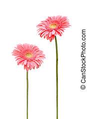 two daisy - two gebera (african daisy) isolated on white
