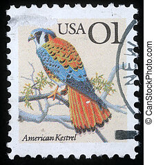 American Kestrel - Falco sparverius - UNITED STATES OF...