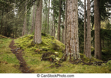 Forest path - A path disappears into the distance in a pine...