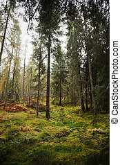 Forest in Scotland - Conifer trees in a lush green forest in...
