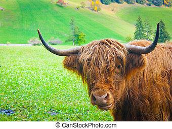 Yak - Grazing yak near Brunico, Trentino Alto Adige, Italy