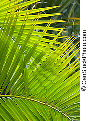 Palm fronds - Palm frond closeup ideal for a jungle theme or...