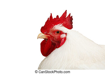 Cockerel with clipping path - White cockerel isolated on a...