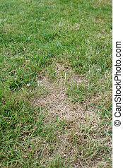 Unhealthy lawn - Garden lawn with unhealthy brown dead...