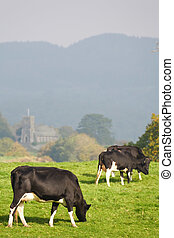 Cattle grazing in British countryside - A herd of friesian...