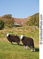 Hill farming - Two Herdwick sheep graze on a hillside in...