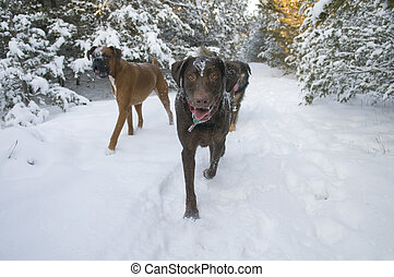 Winter Dog Walk - Three dogs walking in a winter park -...