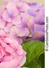 Hydrangea flower detail - Pink hydrangea flowers and a green...