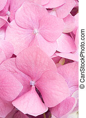 Pink petals background - Detail of pink hydrangea flower...